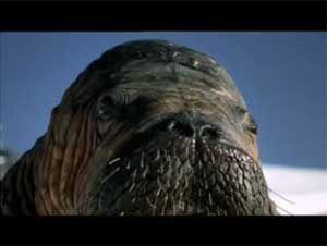 Видео от Goodyear (Шины). Вирусное видео про моржа